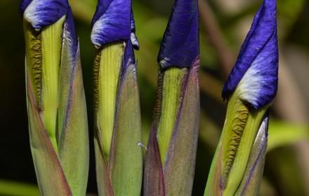 Four Iris 2