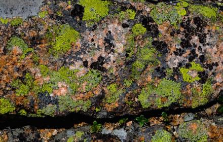 Lichen Line 1